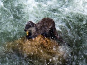 Bayburt'ta nesli tükenme tehlikesi altında olan su samurları görüntülendi