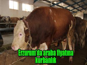 Erzurum'da araba fiyatına kurbanlık