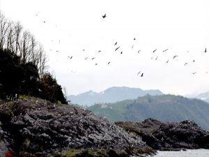 Giresun Adası binlerce kuşu konuk ediyor