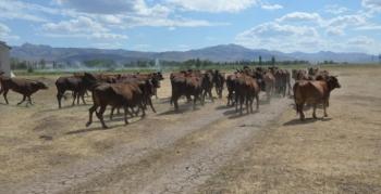 4 bin yıllık sığır ırkı koruma altına alındı