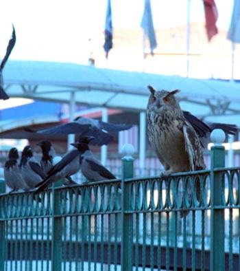 Oltu Çayındaki Puhu kuşuna kargalar saldırdı