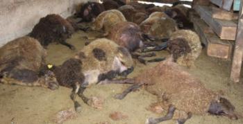 Oltu'da kurt dehşeti: 40 koyunu telef etti, 6 koyunu yaraladı
