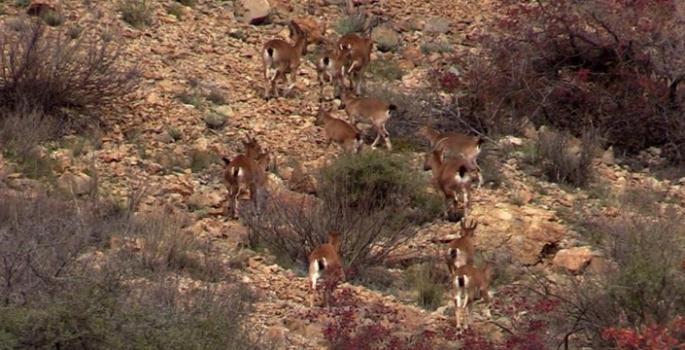 Yaban keçisi sürüsü görüntülendi