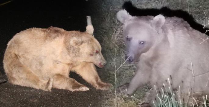 Yaralı ayı müdahale edilirken saldırdı ve araziye kaçtı