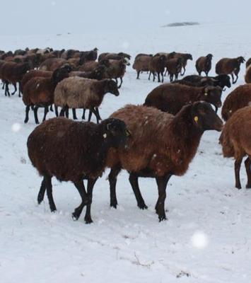 Yaylalardan indirilen koyun sürüsü kar, tipiye yakalandı